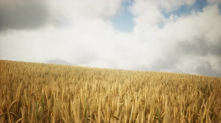 tahıllar : Ripe yellow rye field under beautiful summer sunset sky with clouds