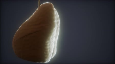 respiração : loop 3d rendered medically accurate animation of the human lung Vídeos