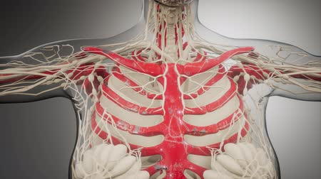 respiração : Transparent Human Body with Visible Bones