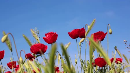 haşhaş : Blooming red poppies flowers natural background Stok Video