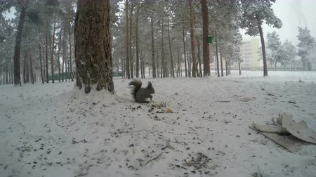hackee : squirrel eat on the ground - stock footage