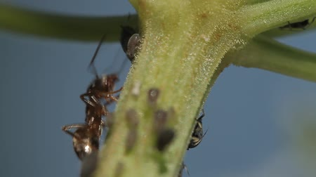 lice : 1080p, Macro Of Ants And Vine Lice On Leafs. Native, unmodified and original camera output