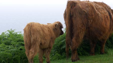 rind : Galloway Calf And Cow, Scottland - Graded Version