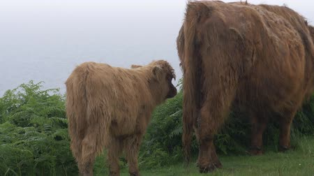 breeder : Galloway Calf And Cow, Scottland - Ungraded Version
