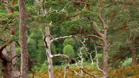 rind : Glen Affric Forest, Scotland - Graded Version