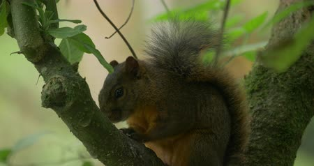 sciuridae : Squirrel, Sitting On A Tree, Costa Rica