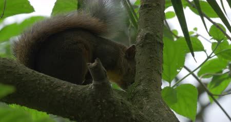 palm squirrel : Squirrel, Sitting On A Tree, Costa Rica - CloseUp Stock Footage