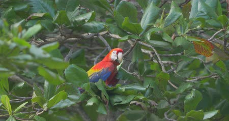 ara papagáj : Eating Scarlet Macaw Sitting On A Tree, Costa Rica Stock mozgókép