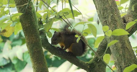 sciuridae : Squirrel, Sitting On A Tree, Costa Rica - CloseUp. Graded Version