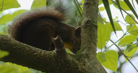 palm squirrel : Squirrel, Sitting On A Tree, Costa Rica - CloseUp. Graded Version