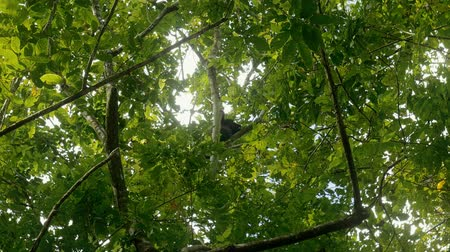 howler monkey : Howler Monkey Sitting On A Tree, Costa Rica, graded Version Stock Footage