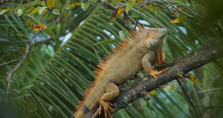 iguania : Huge Green Iguana, Costa Rica, graded Version Stock Footage