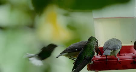 coppery : Three Different Hummingbirds, Costa Rica, Graded version Stock Footage
