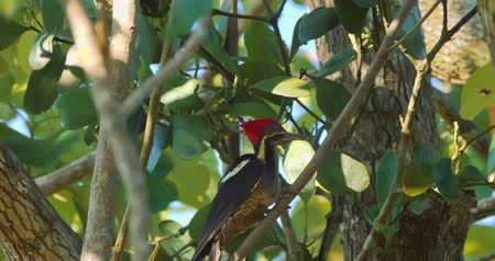 picidae : Pale-Billed Woodpecker, Costa Rica, Graded version