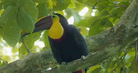 toucan : Swainson's Toucan In A Tree, Costa Rica, Graded version.
