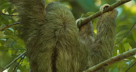 pilosa : Three Toed Sloth With Its Baby, Costa Rica, Graded version.