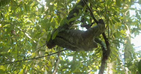 pilosa : Three Toed Sloth With Its Baby, Costa Rica, Graded version Stock Footage