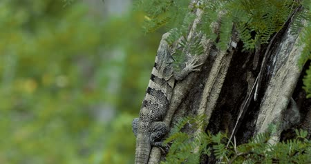 black iguana : Black Spiny-Tailed Iguana, Costa Rica, Graded version