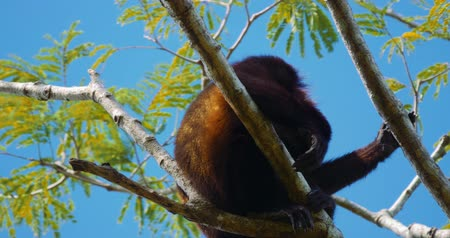 howler monkey : Howler Monkey Sitting On A Tree, Costa Rica, Graded version