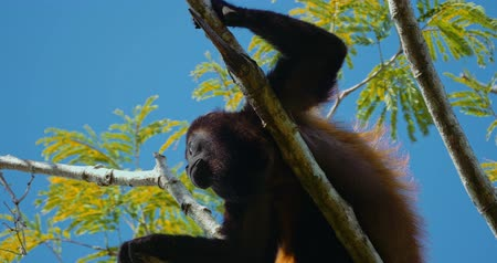 baviaan : Howler Monkey Sitting On A Tree, Howling, Costa Rica, Graded-versie. Stockvideo