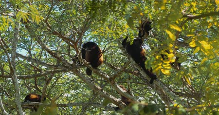 howler monkey : Howler Monkey Sitting On A Tree, Howling, Costa Rica, Graded version.