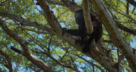 howler monkey : Howler Monkey Sitting On A Tree, Howling, Costa Rica, Native Material Stock Footage