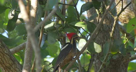 picidae : Pale-Billed Woodpecker, Costa Rica, Native Material