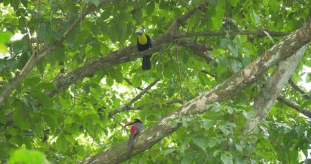 collared : Collared Aracari And Swainson's Toucan In A Tree, Costa Rica, Native Material Stock Footage