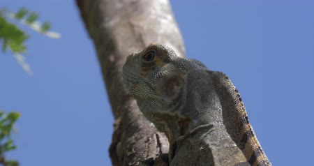 black iguana : Black Spiny-Tailed Iguana, Costa Rica, Ungraded Version