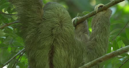 pilosa : Three Toed Sloth With Its Baby, Costa Rica, Ungraded Version