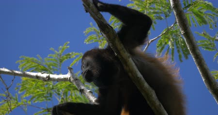 baboon : Howler Monkey Sitting On A Tree, Howling, Costa Rica