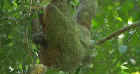 pilosa : Three Toed Sloth With Its Baby, Costa Rica Stock Footage