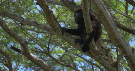 howler monkey : Howler Monkey Sitting On A Tree, Howling, Costa Rica, Native Version
