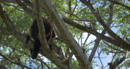 baboon : Howler Monkey Sitting On A Tree, Howling, Costa Rica, Native Version