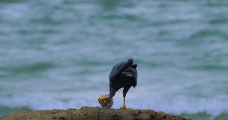 accipitridae : Rare Snail Kite, Eating A Spikey Fish On A Rock, Costa Rica, Graded Version