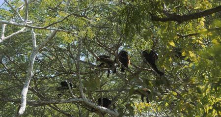 howler monkey : Howler Monkeys Sitting On A Tree, Howling, Costa Rica, Graded Version