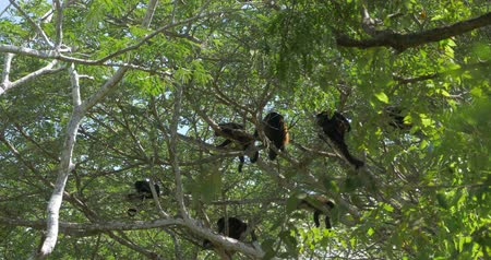 howler monkey : Howler Monkeys Sitting On A Tree, Howling, Costa Rica, Ungraded Version Stock Footage
