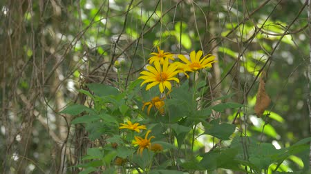 massif de fleurs : Tournesol Costa Rica, Version Native