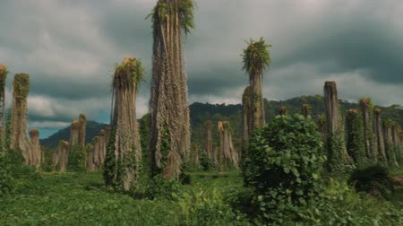 massif de fleurs : Plantation Of Dead Palms, Costa Rica, Version Graded