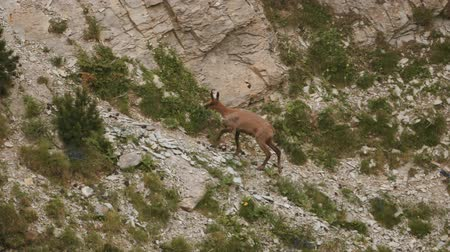 chamois : Single Chamois In The Pyrenees Mountains, Spain - graded Version Stock Footage