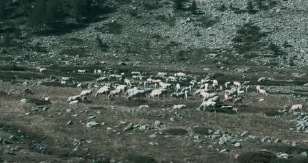 romance : Cows And Cattles At Gias Della Casa, Italy - bleached bypass