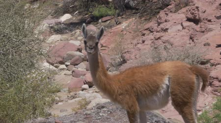 camelidae : Argentinian Vicunas