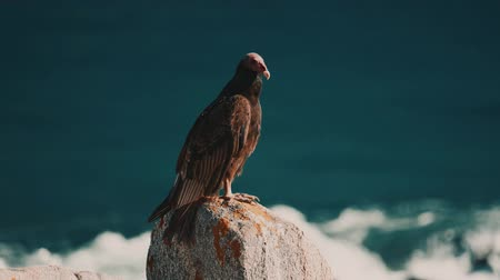 vulture : Chilean Vultures Sitting On A Rock, Drying Themselves Stock Footage