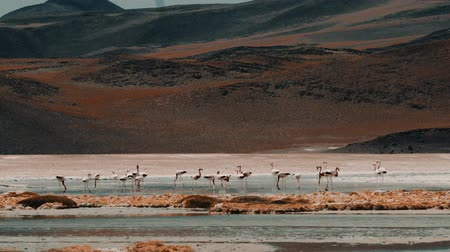 salt lagoon : Flock Of Chilean Flamingos At A Lake