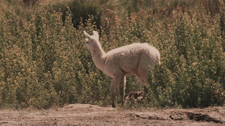 camelidae : Chilean Baby Llama, Grazing Stock Footage