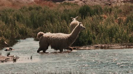koyun : Chilean Llama(s), Grazing Stok Video