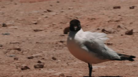 desert life : Chilean Birds, CloseUp Stock Footage