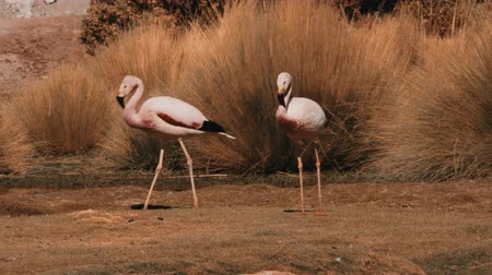 chilean flamingo : Flock Of Chilean Flamingos, Heat Haze Stock Footage