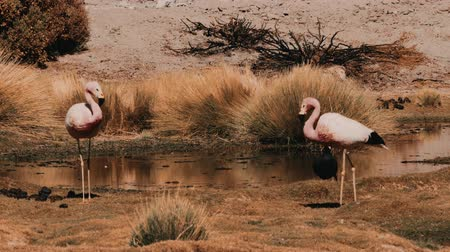 laguna : Flock Of Chilean Flamingos, Heat Haze Dostupné videozáznamy
