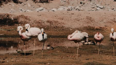 greater : Flock Of Chilean Flamingos, Heat Haze Stock Footage